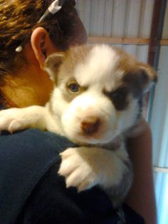 My little four week old siberian husky puppy, Nova! Two more weeks and she is coming home with me! :)