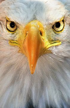 In closing, make sure to do your research and appear at a number of different tattoo styles and designs before you select a tattoo of any sort Eagle Images, Eagle Pictures, Bird Pictures, Animal Pictures, The Eagles, Bald Eagles, Beautiful Birds, Animals Beautiful, Aigle Animal