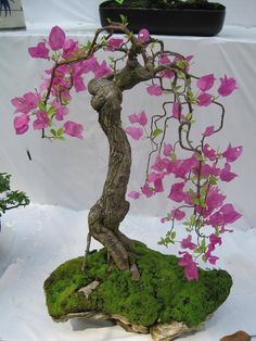 Beautiful Bougainvillea Bonsai Trees Bonsai Bloom And Moss Wonderful Board: Bonsai Terrariums Bonsai Tree Care, Indoor Bonsai Tree, Mini Bonsai, Terrarium Plants, Bonsai Plants, Bonsai Garden, Bonsai Seeds, Ikebana, Mini Plantas