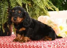 Dachshund Breeders, Dachshunds, Mini Puppies, Puppies For Sale, Lancaster Puppies, Dogs, Animals, Dachshund, Animales