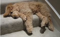 Goldendoodles are the most flexible and floppy little nuggets out there