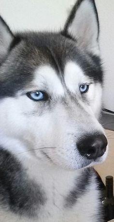 Husky Laska, male, 2 years old (f: Melanie Langenhof) #dog