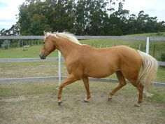 Palomino Quarter Horse 5 by CassStock.deviantart.com on @deviantART