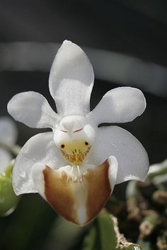 We sell orchids from our nursery in Alkmaar, Nelspruit, Mpumalanga. We have a vast collection of orchid species from around the world. Strange Flowers, Unusual Flowers, Most Beautiful Flowers, Rare Flowers, Weird Plants, Unusual Plants, Rare Plants, Exotic Plants, Orchid Seeds