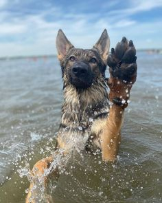 Raise your paw if you love lake days! 🐾 Follow Lincoln 👉 @lincoln_the_gsd1 #germanshepherds#germanshepherdmemes#germanshepherdphotos#germanshepherddog #gsdstagram#germanshepherdpictures#gsd#gsdphotos #gsdpictures #germanshepherdpuppy #germanshepherdpuppies German Shepherd, German Shepherds, german shepherd community German Shepherd dog, german shepherd memes, german shepherd photos, gsdstagram, german shepherd pictures, gsd, gsdphotos, gsd pictures  German Shepherd Memes, German Shepherd Pictures, German Shepherd Puppies, German Shepherds, Puppy Training Tips, Pet Fox, Puppy Eyes, Cute Puppies, Husky