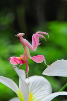 Hymenopus coronatus (known as orchid mantis) is from Malaysia, Indonesian & Sumatran rain forests. These mantises thrive in humid, warm areas of south Asian rain forests. These can be found on papaya trees, orchids, or frangipani trees w/flowers.