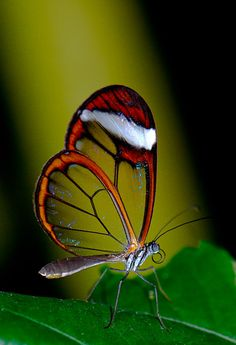 ~ Glasswing Butterfly (Papillon Vitrail) by Virginie Le Carré ~ Most Beautiful Butterfly, Beautiful Birds, Animals Beautiful, Butterfly Pictures, Butterfly Art, Butterfly Template, Butterfly Dragon, Monarch Butterfly, Cool Insects