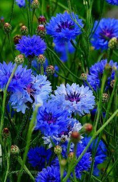 Spring Flowers, Blue Flowers, Wild Flowers, Planting Flowers, Flower Plants, Flower Power, Perennials, Beautiful Flowers, Painted Flowers