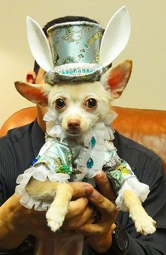 Happy Easter! Chihuahua dressed as an Easter Bunny. My Chihuahua Kimba is ready for Easter Sunday. He is dressed as an Easter Bunny. Kimba is ready to hunt for eggs with dog treats in them. Happy Easter! Great time to remind the children in your life that chocolate is poison to dogs.