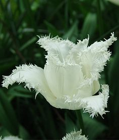 Tulip, Swan Wings: How different, and pretty!