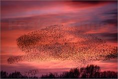 Spreeuwenzwerm - Star Schwarm - Murmuration of Starlings by Erwin Maassen van den Brink