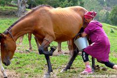 Milking a horse, Kyrgyzstan