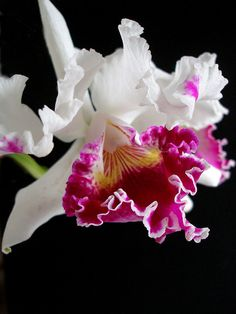 Cattleya on black