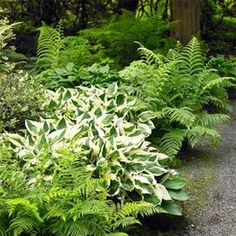 Definately need some of these under the redwoods... Add shine to shady spots with bright plants like this. Sun bounces off the white accents for added light appeal. Perfect under overhang in front yard.