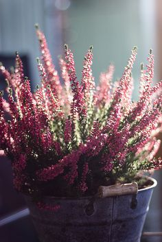 Ljung #heather #calluna