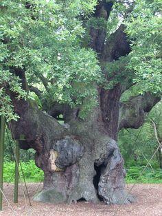 Major Oak, legendary HQ of Robin Hood Nottinghamshire, England