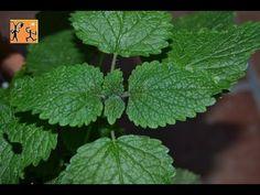 ▶ Melisa o Toronjil contraindicaciones y efectos secundarios. Plantas medicinales Melisa - YouTube