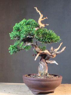 Itoigawa Juniper Bonsai Tree - Japanese Juniper Itoigawa Bonsai Tree
