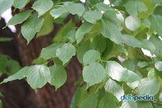 말채나무 잎