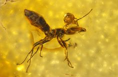 50-Million-Year-Old Mite Chomps Into Ant's Head : Discovery News. This is such an amazing image.