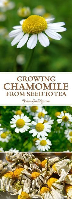 Chamomile grows best in a sunny location but can tolerate some shade. It is drought tolerant and trouble free. Learn how to grow, harvest, and dry chamomile for storage. (best plants for shade products) Chamomile Growing, Chamomile Tea, Growing Herbs, Growing Vegetables, Growing Tea, Organic Gardening, Gardening Tips, Gardening Services, Indoor Gardening