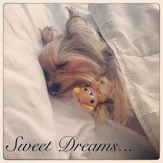 Sweet dreams #yorkshireterrier