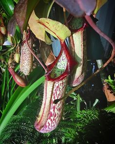 Nepenthes x 'Miranda' by you_can_lead_a_horticulture
