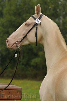 Perlino Akhal Teke, rarest horse on earth