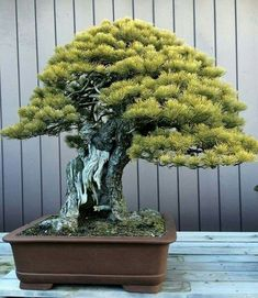 Pine Bonsai, Bonsai Trees, Belle Plante, Pottery, Inspirational, Landscape, Beautiful, Gardens, Home
