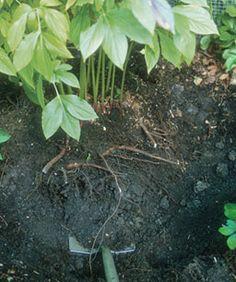 # Dividing Perennial Plants