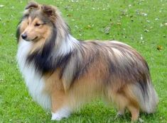 The Shetland Sheepdog originated in the and its ancestors were from Scotland, which worked as herding dogs. These early dogs were fairly sm Shetland Sheepdog Puppies, Mini Collie, Collie Dog, Sheep Dog Puppy, Sheep Dogs, Blue Merle Sheltie, Black Puppy, Rough Collie, Ideas