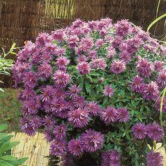 Pflanzen-Kölle Raublatt-Aster 'Purple Dome' violett, 11 cm Topf.  Die kräftig violetten Blüten dieser winterharten, pflegeleichten Prachtstaude bilden einen unvergleichlichen Höhepunkt im spätsommerlichen Garten.