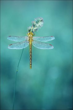 dragonfly | nature + insect photography