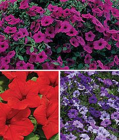 Petunia Wave ™ Collection,