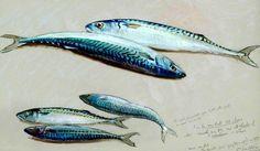 Study of Five Mackerel for 'The Mackerel Nets'