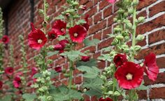 Backyard Trees Shade Shrubs 19 Ideas For 2019 Raised Flower Beds, Raised Garden Beds, Garden Seeds, Garden Plants, Flower Gardening, Shade Shrubs, Backyard Trees, Hollyhock, Parcs
