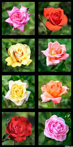 """Roses - Prized Blooms - 24"""" x 44"""" PANEL - DIGITAL PRINT - Quilt Fabrics from www.eQuilter.com"""