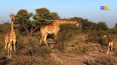 Giraffe, World, Animals, Photos, Travel Tips, Africa, Landscape, Nature, The World