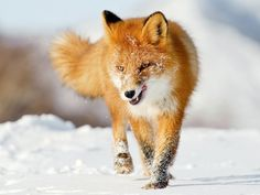 red fox running in the snow Tier Wallpaper, Animal Wallpaper, 1920x1200 Wallpaper, Mobile Wallpaper, Snow Fox, Beautiful Creatures, Animals Beautiful, Animals Images, Cute Animals