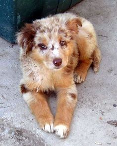Ada, Spencer's australian shepherd puppy, a gift from her dad Simon