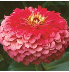 Flower Zinnia Benary's Giant Coral (Rose) Heat Tolerant 50 Open Pollinated Seeds by David's Garden Seeds Giant Flowers, Peach Flowers, Flowers Nature, Fall Flowers, Summer Flowers, Single Flowers, Wedding Flowers, Summer Garden, Lawn And Garden