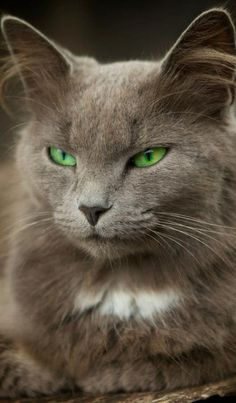 """Mother Nature set her jewels in the eyes of cats. Pretty Cats, Beautiful Cats, Animals Beautiful, Cute Animals, Gorgeous Eyes, Pretty Kitty, Crazy Cat Lady, Crazy Cats, I Love Cats"