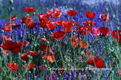 Lavender and Poppy Fields - Sequim, Washington via Etsy
