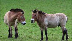 Nacen dos caballos salvajes raros en China...   https://www.facebook.com/forohorses