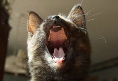 Top Ten Tips on How To Keep Your Cat's Teeth Clean