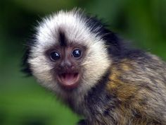 My dream in life is to own a tiny monkey! :)