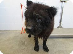 ●9•5•16 SL●SUPER URGENT!●••☆☆NO INTEREST!☆☆••High kill shelter! Kennel 22 - located at Corona Animal Shelter in Corona, California - 10 year old Male Chow Chow Mix