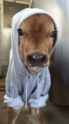 Baby cow in a hoodie – culture: the word on cheese - Baby Animals Cute Baby Cow, Baby Animals Super Cute, Cute Little Animals, Cute Funny Animals, Cute Babies, Pet Cows, Baby Cows, Baby Farm Animals, Fluffy Cows