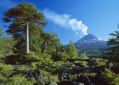Volcano Llaima With Monkey Puzzle Tree, Conguillio Aurore Boréale - Mont McKinley - Parc national de Denali en Alaska   Découvrez un panorama de forces spectaculaires qu'offre la nature : http://blog.ecotour.com/bons-plans/les-forces-de-la-nature/#