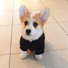 Benson with his new hoodie, ready for a lazy day! Submitted by. Welsh Corgi Puppies, Puppies And Kitties, Pembroke Welsh Corgi, Doggies, Frenchie Puppies, Baby Corgi, Dog Bike Basket, Look Short, Short Legs